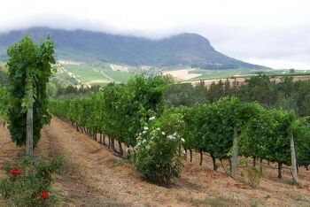 Vineyard Somerset West,  Cape Town's Helderberg Region, Western Cape